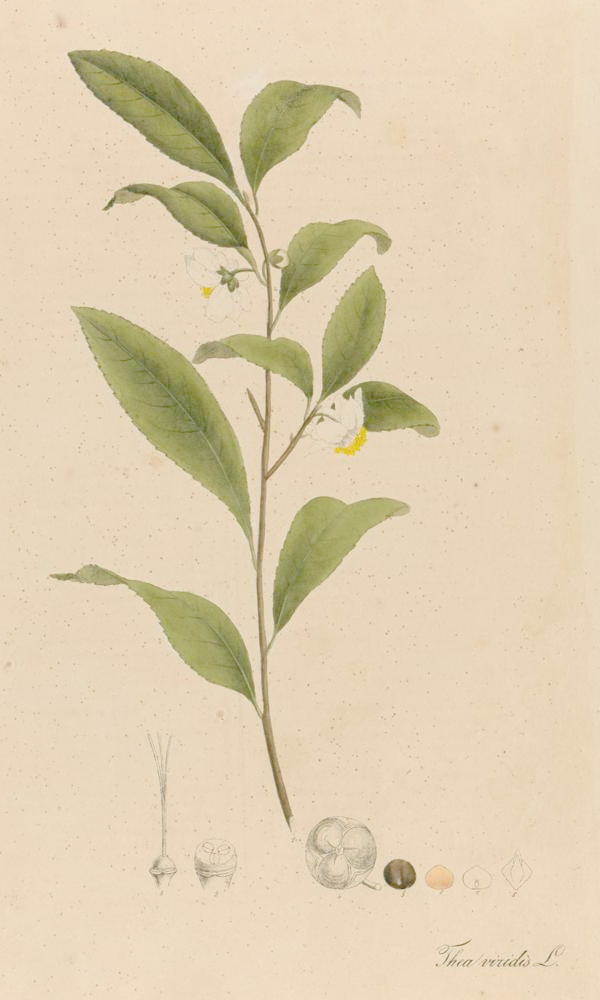 PlantæMedicinales Thea1